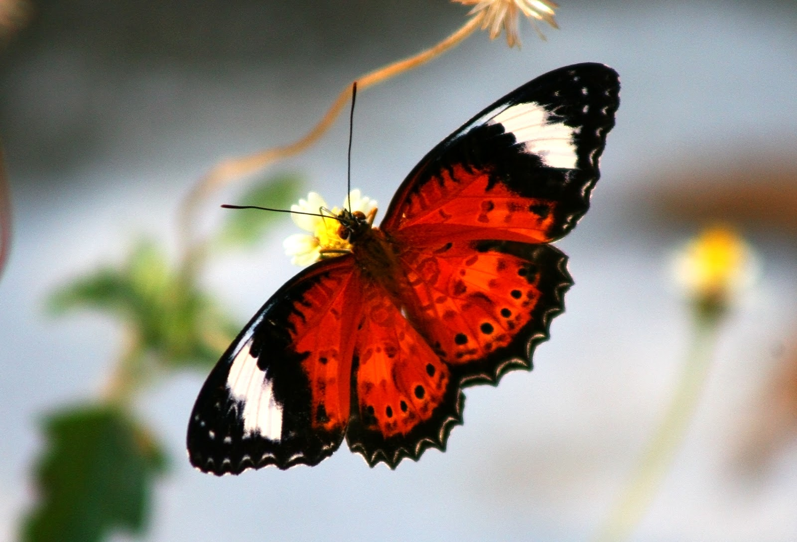 Roter Schmetterling Images By Christine Walsh: Australian Insects