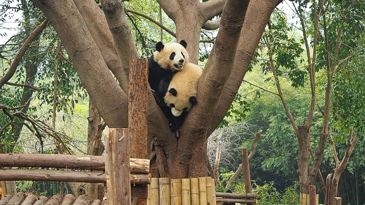 Pandas in a tree at Chengdu Panda Sanctuary, China