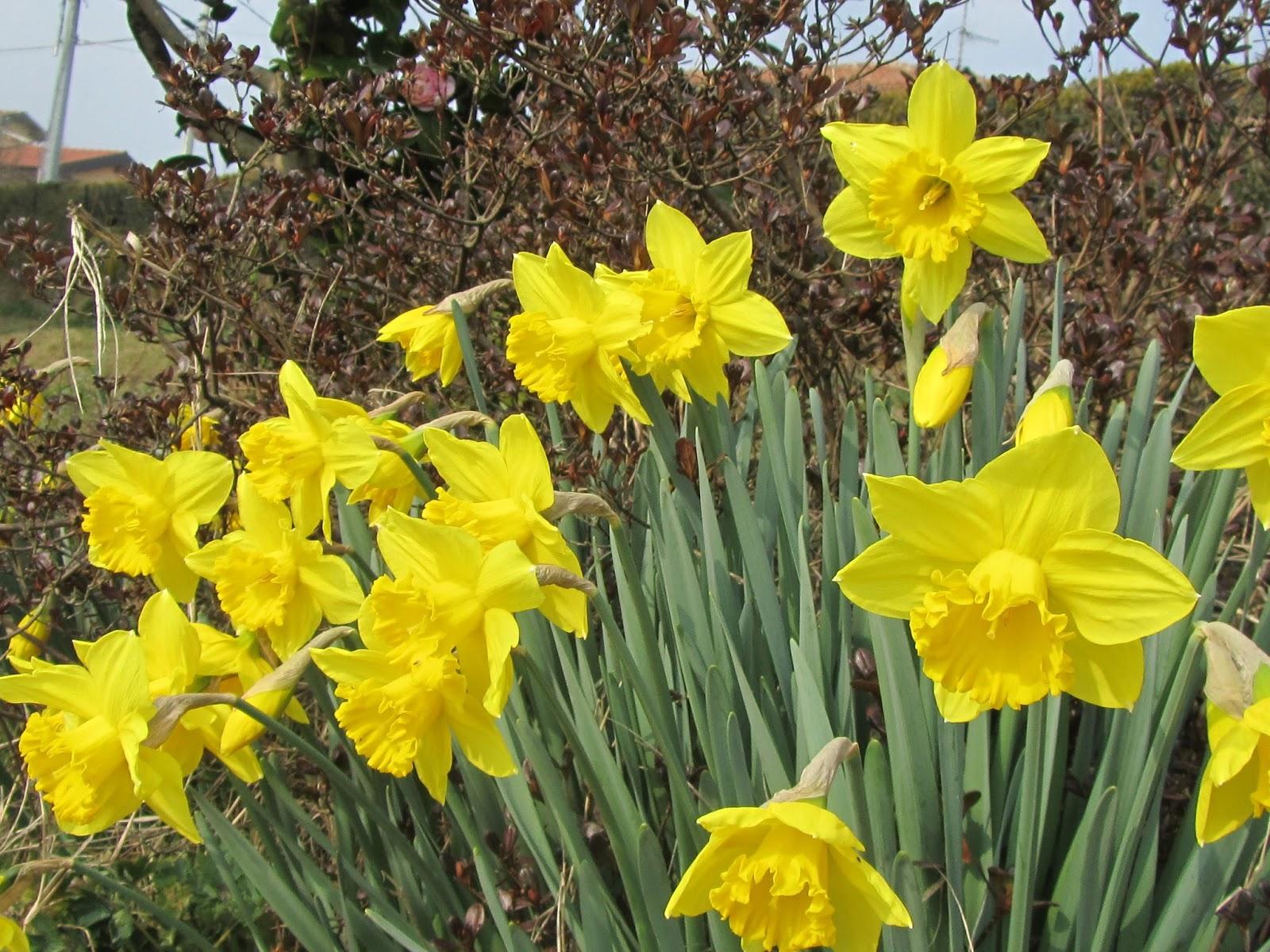 Narcissus narcisi e il risveglio della primavera come for Bulbi narcisi
