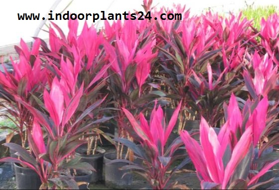 Cordyline Fruticosa indoor plant