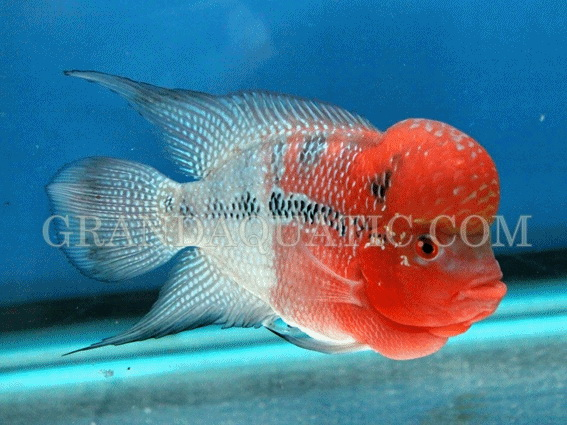 Aquarium Fish Thailand Luo Han arguably easy to preserve and doesn't