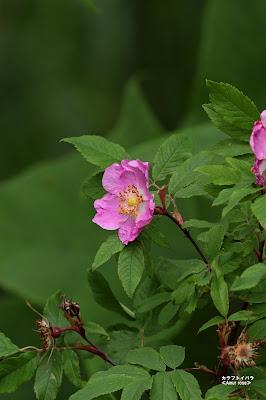 カラフトイバラ ≪Amur rose≫