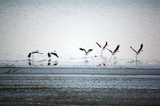 Flamingos, Dholavira, migration, Gujarat,