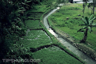 kebun selada di area tepi sungai wisata umah kayu sragi banyuwangi