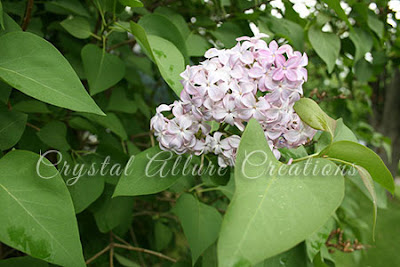 Pink Light Purple Lilac Bush -photo by Crystal Allure Creations