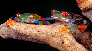 Pasangan katak berwarna