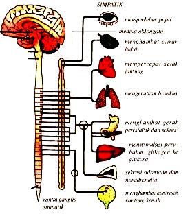 saraf yang berpangkal di medula spinalis  Pengertian Saraf Simpatik dan Fungsi Saraf Simpatik adalah