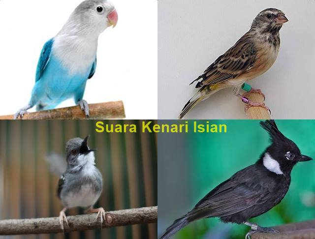 Free Download Suara Kenari Isian Ciblek