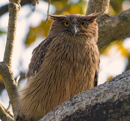 Indian birds - Picture of Brown fish owl- Ketupa zeylonensis