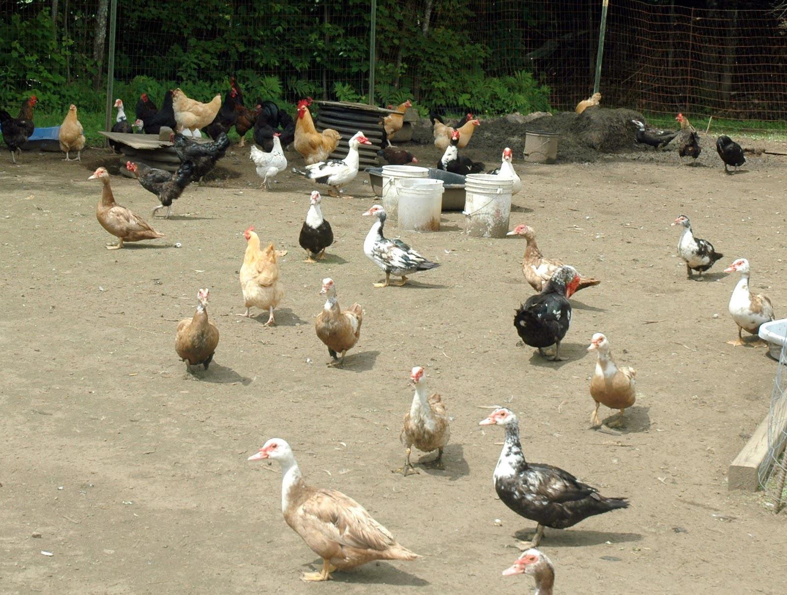 Farm Raised ~ Free Range ~ Eggs - North Country Rambler