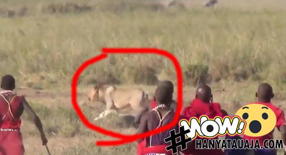 Duel Singa Versus Manusia, Siapa Yang Menang?