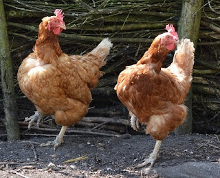 chickens happy dance