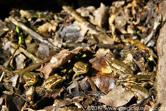 Regroupement de jeunes grenouilles vertes Fontainebleau