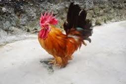 Ayam Kate Dan Cara Perawatannya