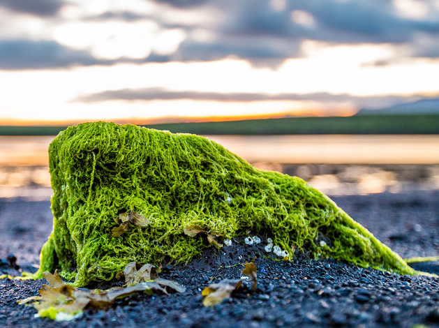 An algae covered rock