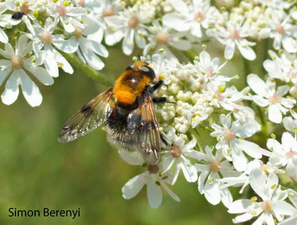 bumble bee mimic