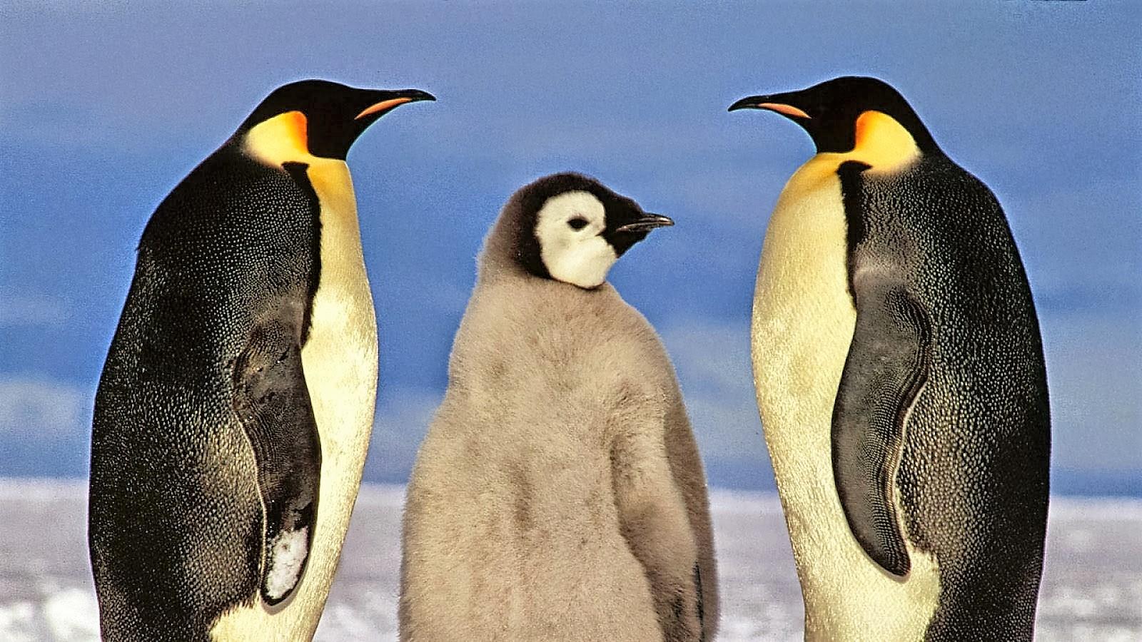 O G Penguin 5-five-5: Emperor peng...