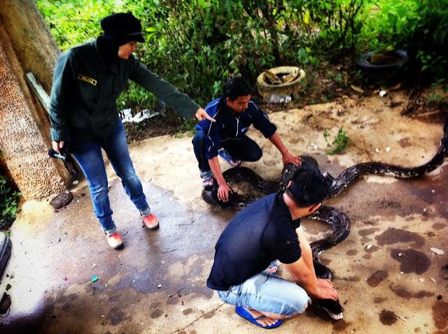 ular sawa batik