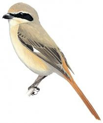 Rufous tailed Shrike