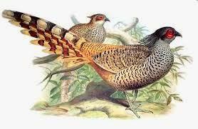 Cheer Pheasant