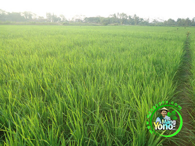 FOTO 3 : Tanaman Padi TRISAKTI 38 HST di Sawah Rawa.