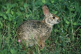 Animals Covered The Swamp Hare Arctic Prairie Antelope Jack And Rabbit