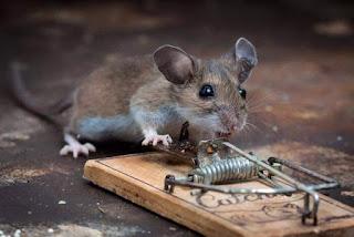 Historia con Moraleja : El ratón y la trampa para ratones