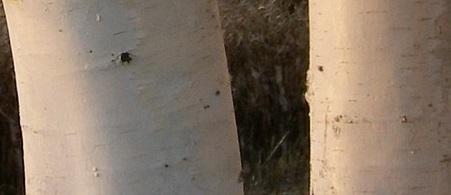 Abedul del Himalaya Betula utilis