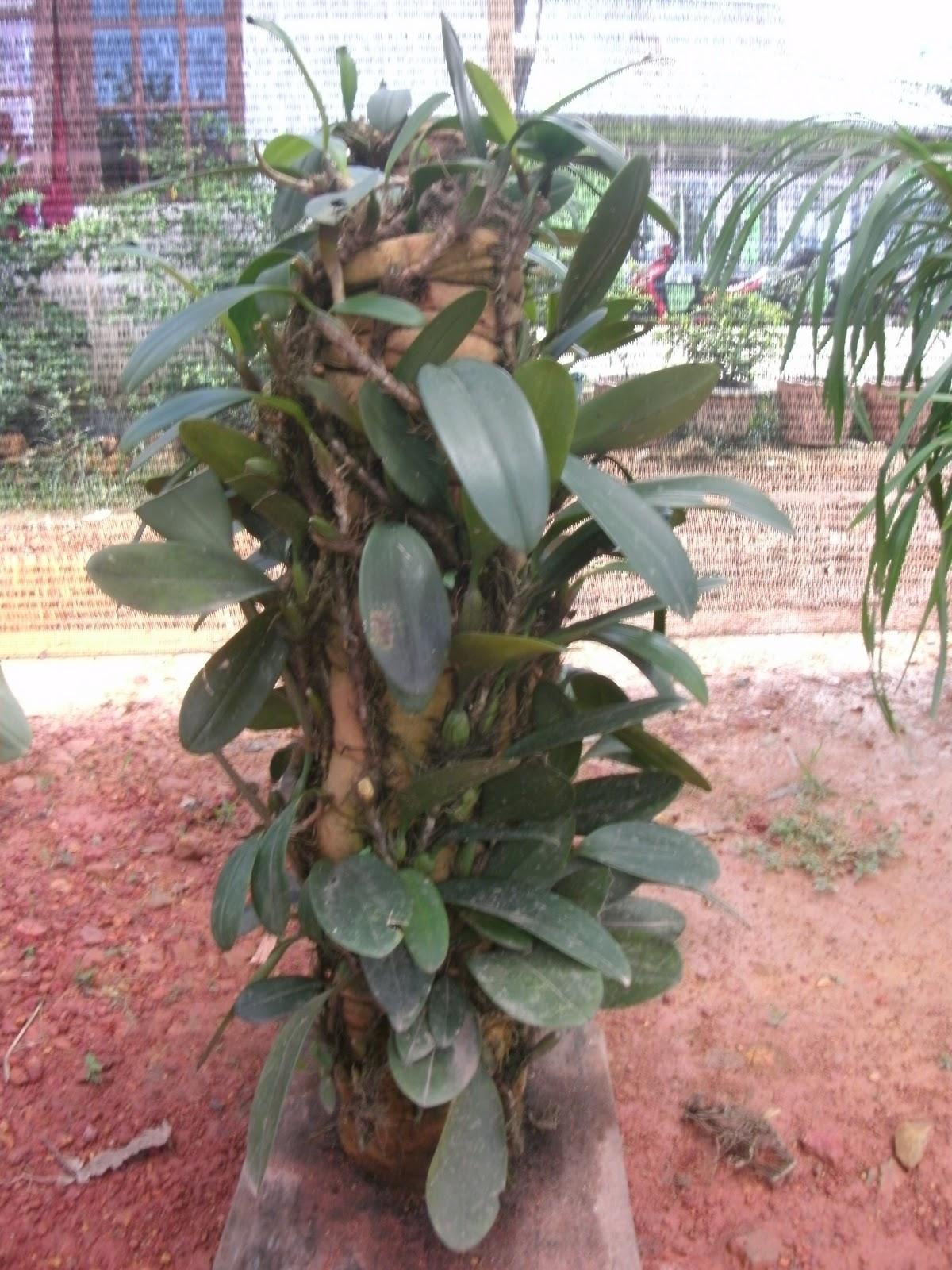 Anggrek Kalimantan godean.web.id