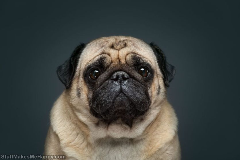 13. This pug knows the secret of the very look of the Cat in boots from Shrek