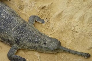 Cocodrilo gavial de la Granja de Cocodrilos.