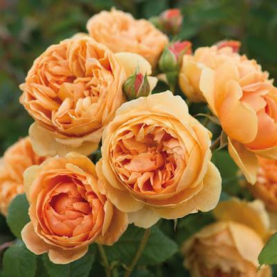 hoa hồng leo tương an
