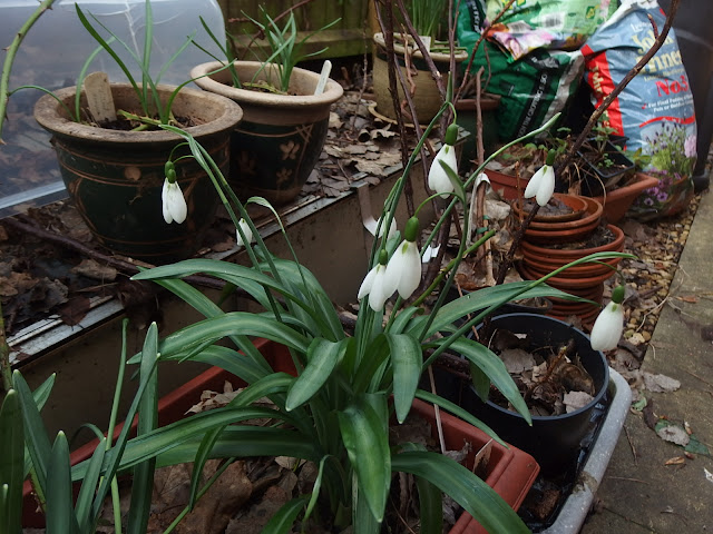 Potted up snowdrops in the side garden