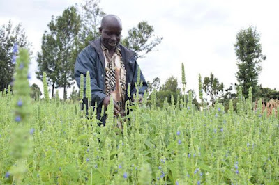 chia seeds farming in kenya