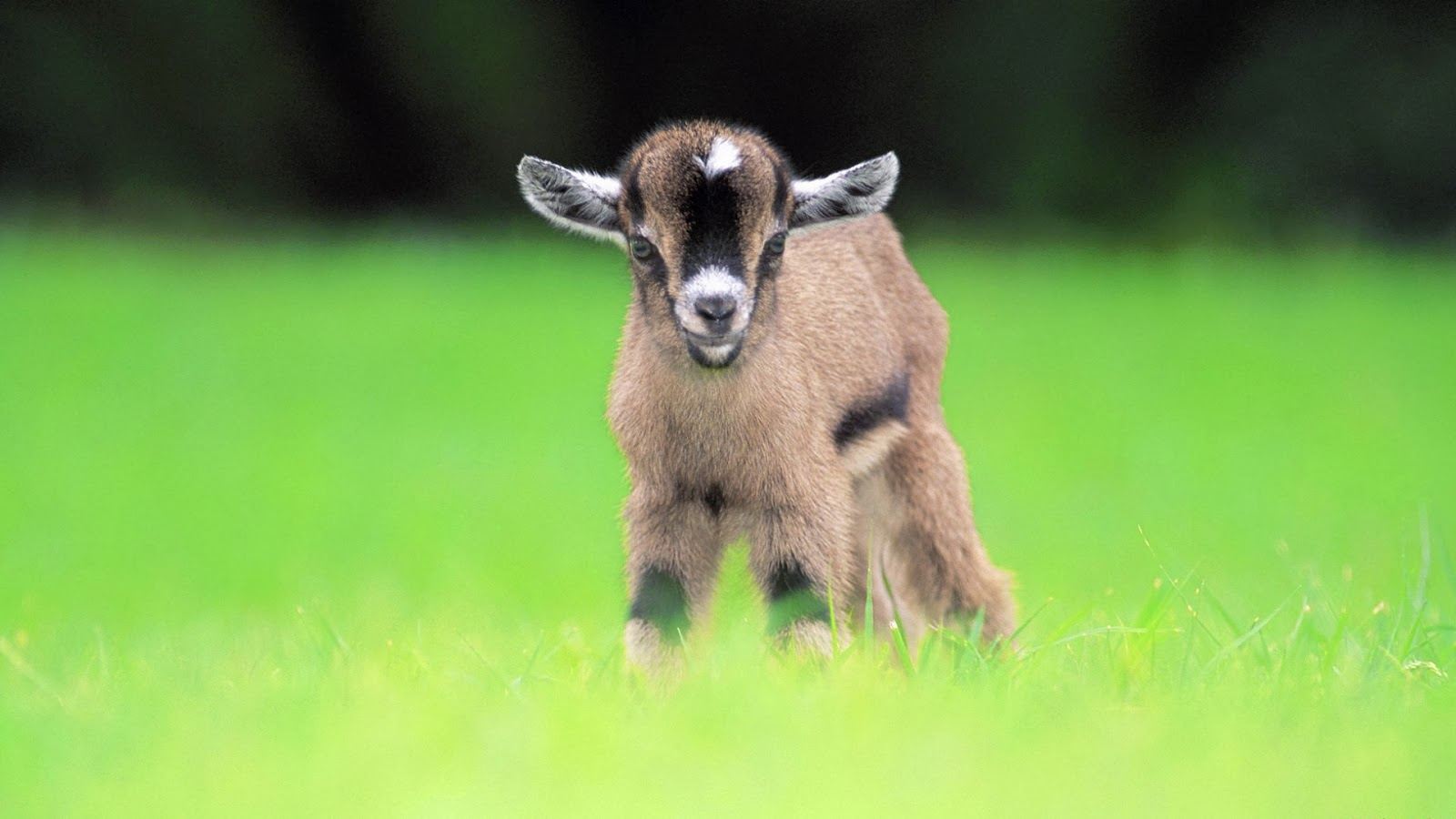 Beautiful Animal Goat Wallpapers HD ~ Desktop Wallpapers ...