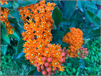 June 26, 2018 Loving our butterfly weed and how it pops up in different places in our garden.