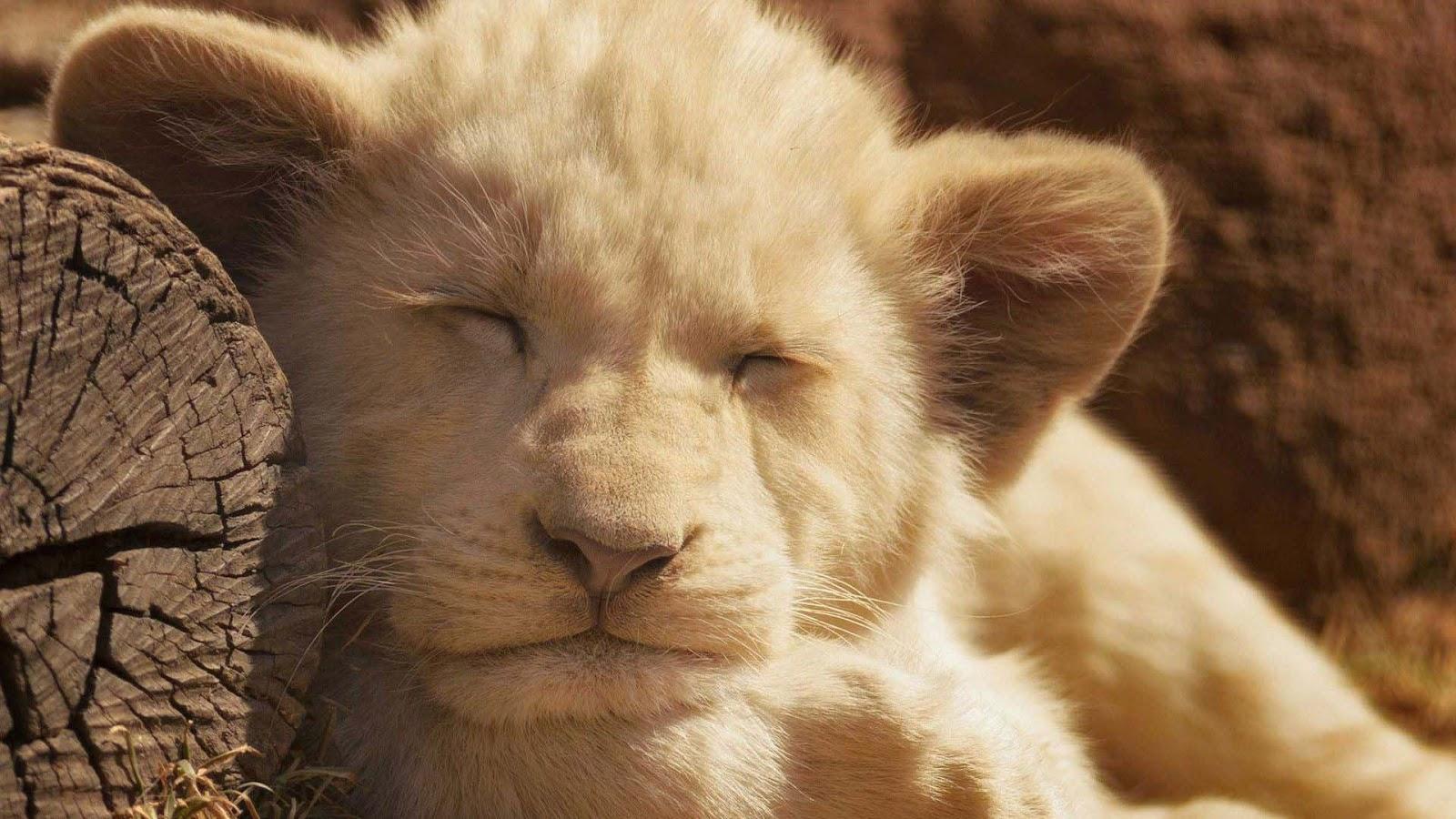 tidur-singa-anak-hewan-gambar