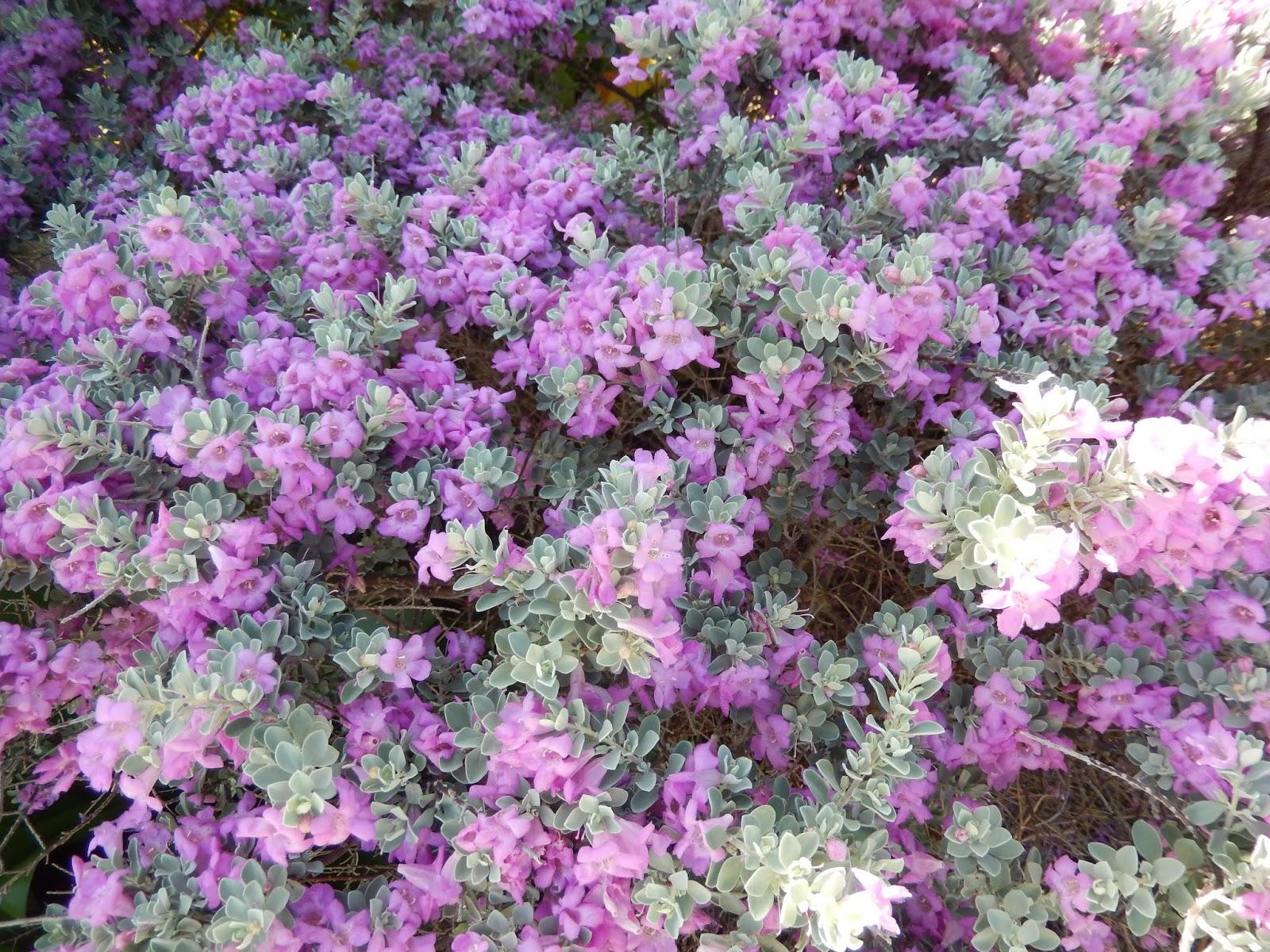 Barbados Flora Fauna Texas Sage Leucophyllum Frutescens