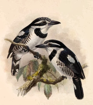 Greater pied Puffbird
