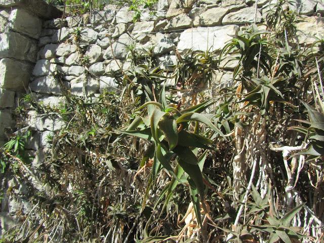 Foglie Aloe ciliaris
