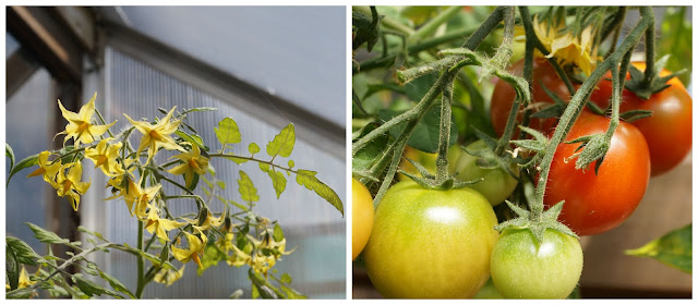tomato plants- 'growourown.blogspot.com' ~ an allotment blog