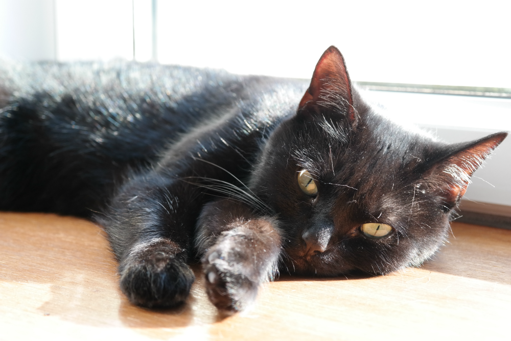 Black cat on sunny windowsill (Polly)