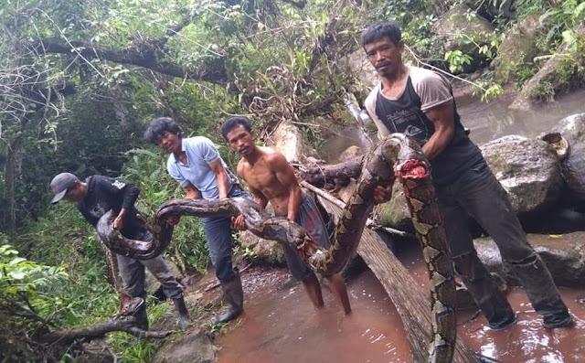 Ular Piton Sepanjang 7 Meter, Serang Ternak Warga di Mengkendek