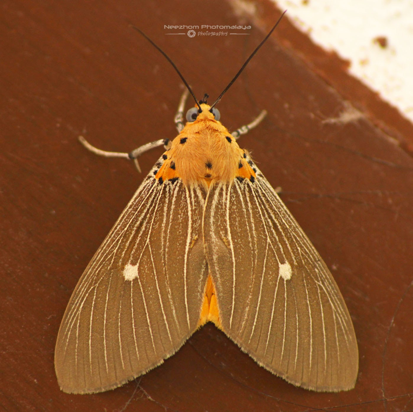 Orange brown wings lined with cream lines and black spots moth