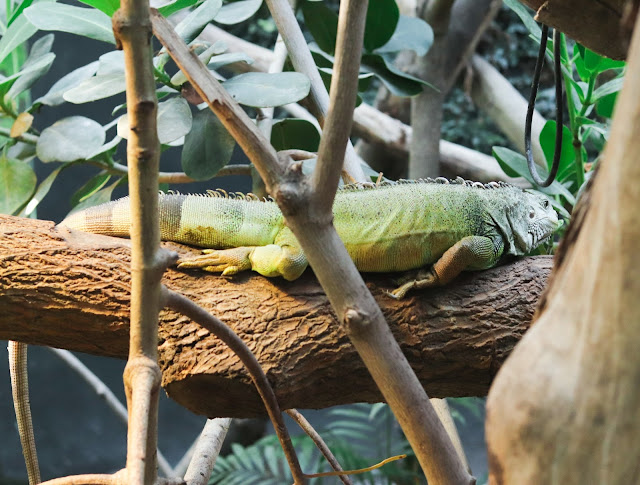 iguane vert du zoo de vincennes