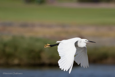 Little Egret in Flight : Over-Exposure Correction