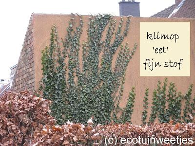 Klimop vermindert fijn stof of luchtvervuiling. Fytoremediatie betekent zuiveren met planten. Klimop is een echt zuiverende plant.