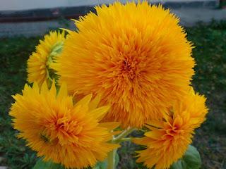 flor-diente-de-leon-de-petalos-anaranjados