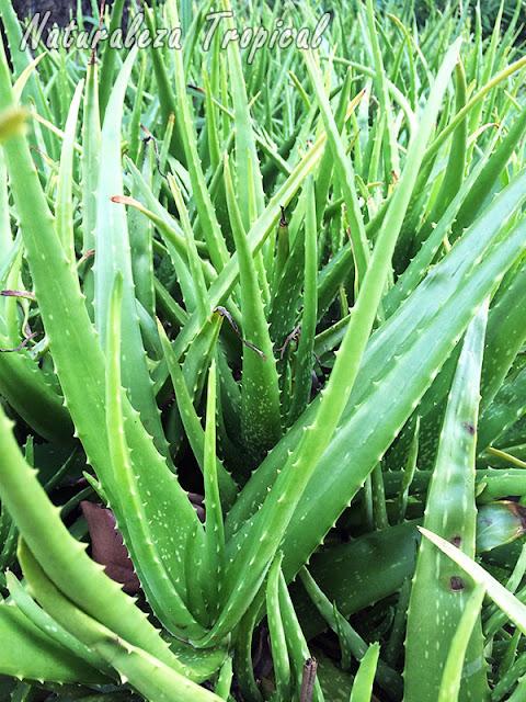 Planta Aloe vera, Sábila