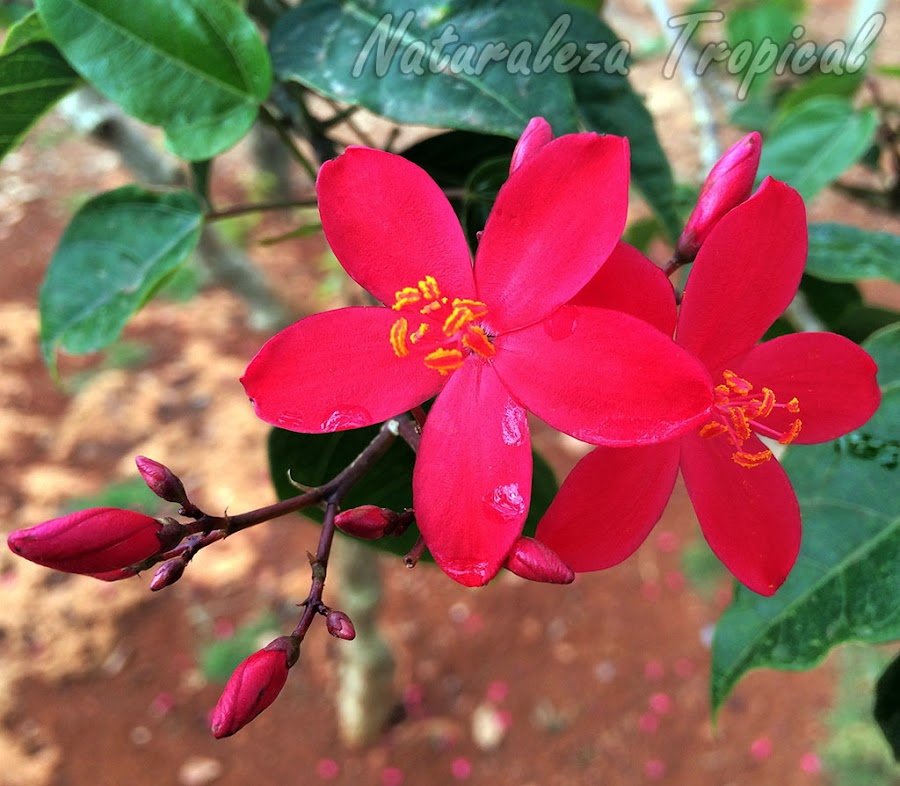 Flores de la planta Peregrina, Jatropha integerrima